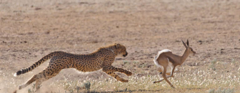 Diet and Hunting Techniques - Cheetah Facts - Dell Cheetah Centre